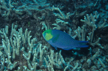 Greensnout Parrotfish