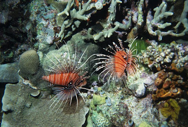 Red Lionfish 2