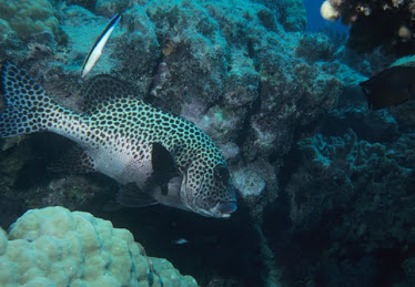 Many-spotted Sweetlips, with Cleaner Wrasse