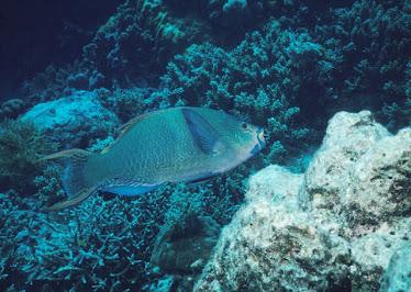 Minifish Parrotfish