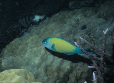 Palenosed Parrotfish