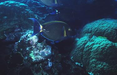 Round-spot Surgeonfish