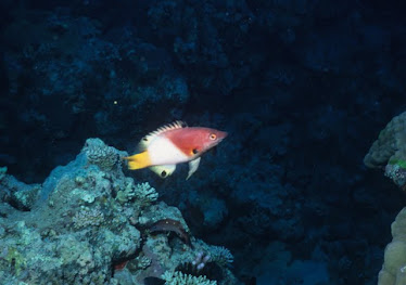 Axil-spot Hogfish 1