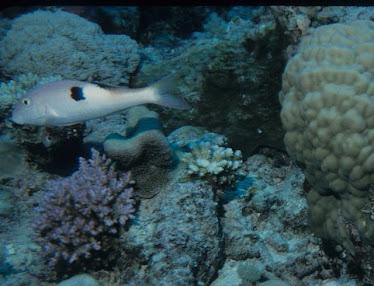 Sidespot Goatfish