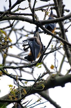 Grey-backed Fruit Bat
