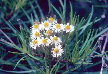 Darwiniothamnus lancifolius
