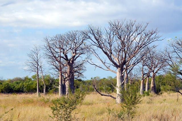 Boab (Adansonia) savanna