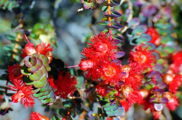 Scarlet Featherflower - Verticordia grandis