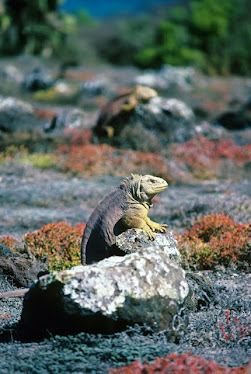 Galapagos Land Iguana, Male, Territorial display
