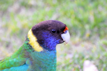 Australian Ringneck Parrot #221