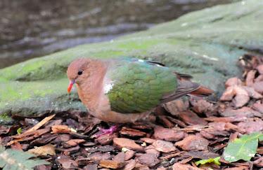 Emerald Dove  #2711