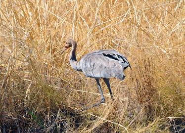 Sarus Crane, immature