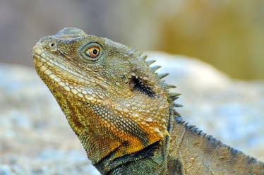 Water Dragon, Headshot