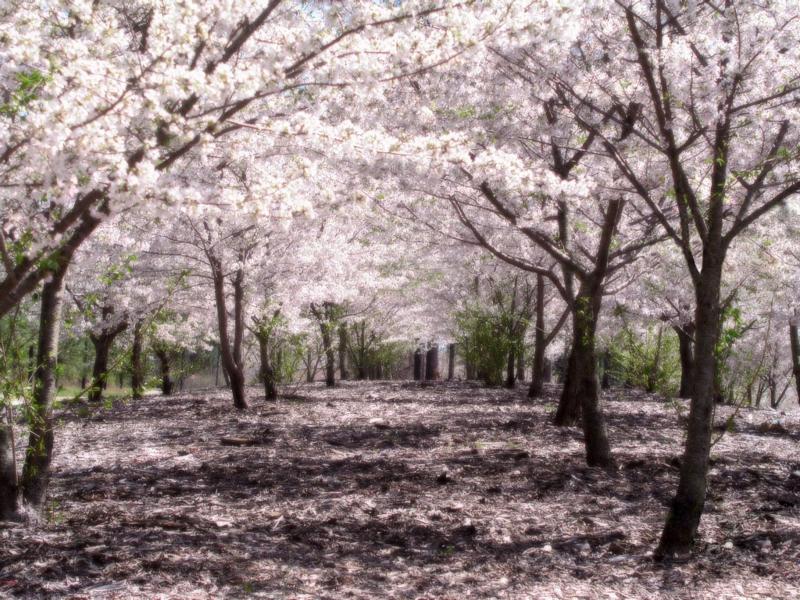 Foto Bunga Sakura Jepang
