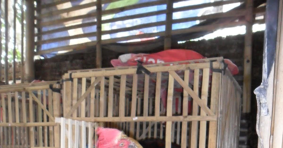 Belajar Cara Berternak Ayam Petelur – Peluang Usaha Ternak
