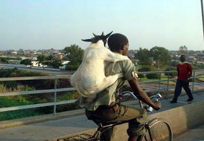 humor cabra bicicleta