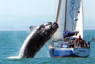 ballena aborda velero