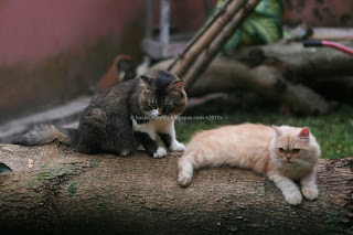 blacky, kitty, indukan kucing