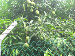 Neighbourhood Mangoes