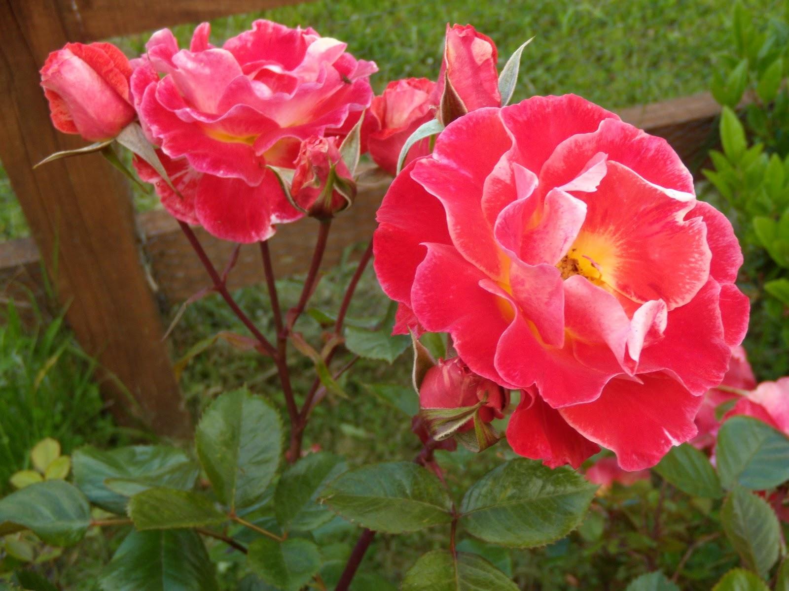 Nuevos horizontes la rosa de mi jard n poema for Jardin rosa alcoy