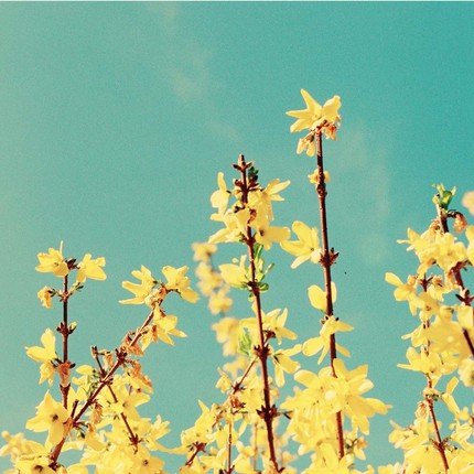 [yellow+flowers+blue+sky]