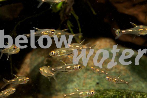 Habitat pour crevettes, lequel choisir entre les 2 ? Hemigrammus+sp.+Morse