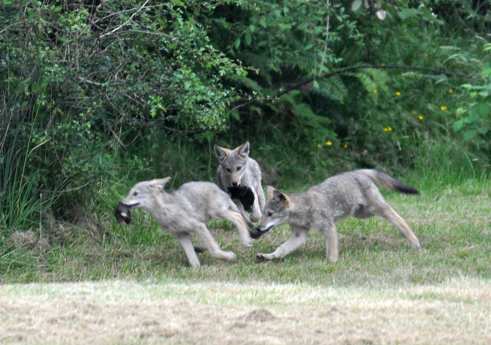 http://4.bp.blogspot.com/_0uxxQY4OUAk/TDOAJWhVkoI/AAAAAAAAAjc/EcPQcrtAmWY/s1600/coyote2.jpg