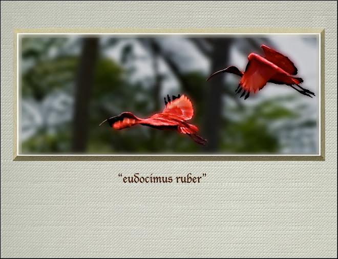 """""""eudocimus ruber"""""""