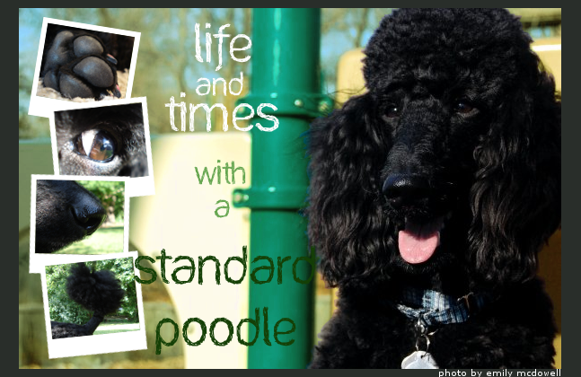 Life and Times with a Standard Poodle