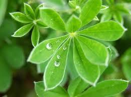 diaforetiko.gr : lupine+leaves Κάθε ασθένεια περιέχει ένα κρυφό μήνυμα!