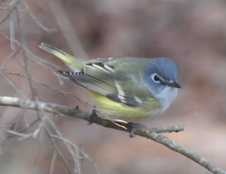 Blue-headed Vireo at Audubon's Francis Beidler Forest by Mark Musselman