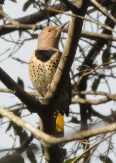 Northern Flicker at Audubon's Francis Beidler Forest by Mark Musselman