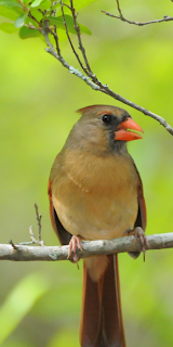 Female Northern Cardinal, Summerville, SC by Mark Musselman