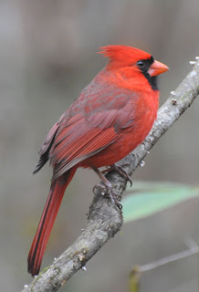 Male Northern Cardinal at Audubon's Francis Beidler Forest by Mark Musselman