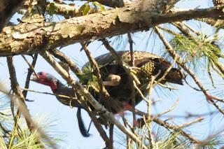 Wild Turkey at Audubon's Francis Beidler Forest by Mark Musselman