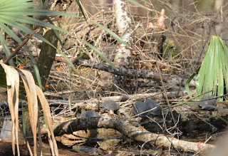 Spotted Turtles at Audubon's Francis Beidler Forest by Mark Musselman