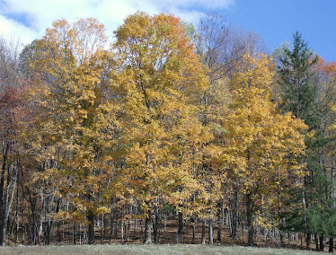 Maples at the top of the pasture
