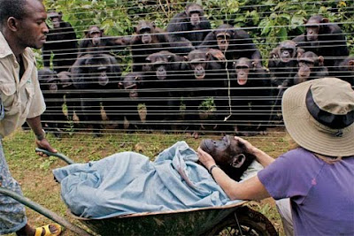 Chimpanzee burial Cameroon Dorothy