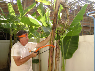 important to keep the banana trees pruned so that spiders and snakes