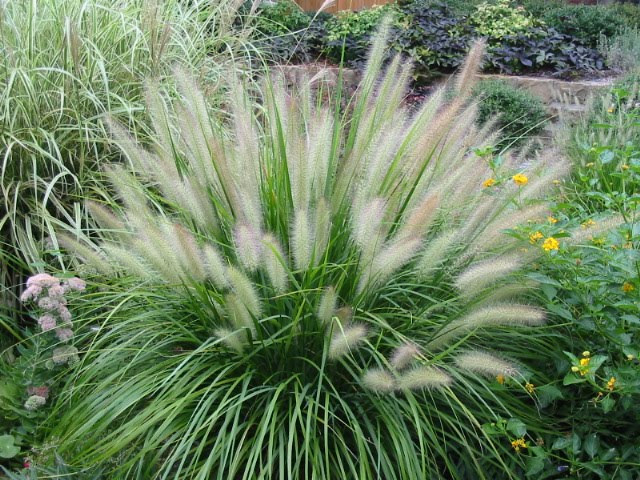 signature gardens grasses not just for lawns anymore