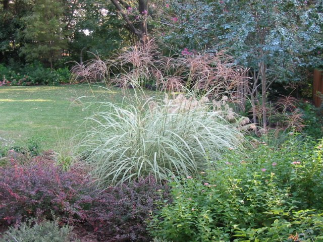 Signature gardens grasses not just for lawns anymore for Tall grass with plumes