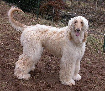 Afghan Hound | All Dog Breeds