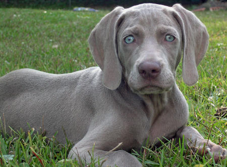 Weimaraner Large Dog | Dog Breeds Index