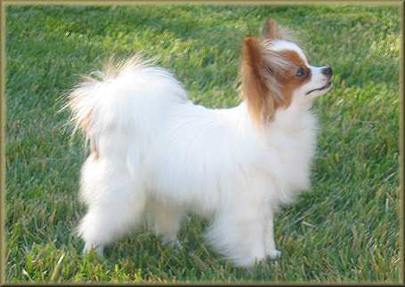 Papillon Color: Papilon Breed Standard | Papilon Toy Dog | Dog Breeds ...