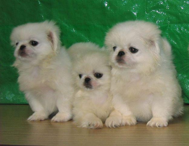 Cute Pekingese Puppy | Dog Breeds Index