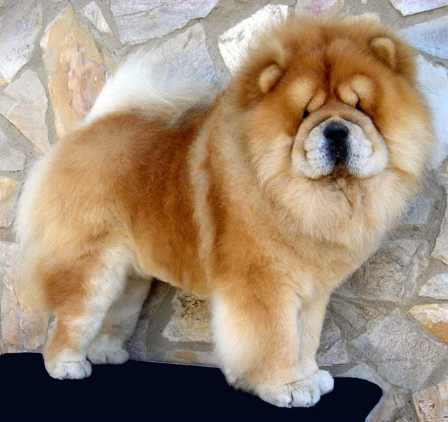 Funny chow chow dog breeds index