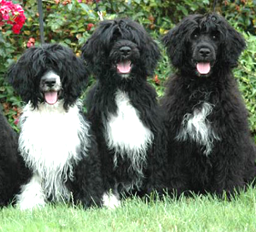 Portuguese Water Dog Show: Portuguese Water Dog | Dog Breeds Index