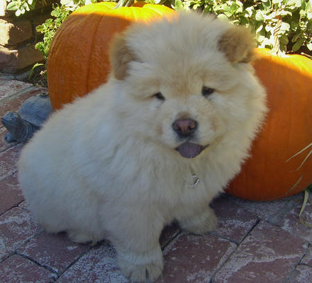 Funny Chow Chow Puppy | Dog Breeds Index