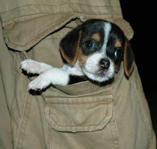 beagle puppies pictures dog breeds index