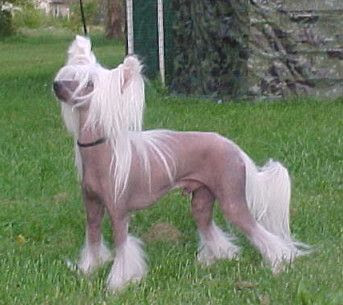 Funny Chinese Crested | Dog Breeds Index